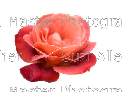Orange-rose 